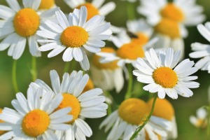 chamomile-flowers