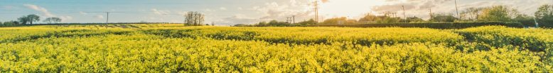 cropped-field-flowers-yellow-agriculture.jpg
